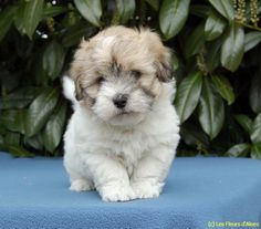 A sweetie pie from the French breeder of the Coton de Tulear, Les Fleurs d'Aloes.