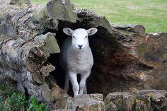 Lamb in a log... | Flickr - Photo Sharing!