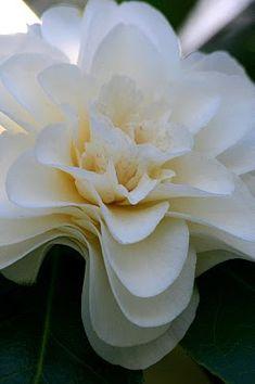 Cascading petals of a white camellia