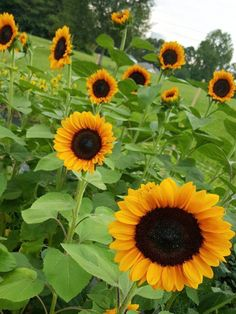Gallery — On the Hill Flower Farm Orange Sunflowers, Flower Farm, Yellow, Nature, Plants, Collection, Flora, Nature Illustration