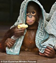 Under wraps: Some toddler apes - such as  Mr Bernie (above) however, is not a fan of a Bath