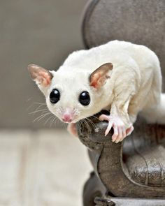 Leucistic or BEW (Black-eyed White) Sugar Glider | They are all white but do not have the red eye-coloring of the albino. Instead, they have a dark brown/black eye-coloring.