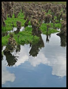 Reflections of pollarded willows In our little country we have our own little Everglades like scenery near the Oude Maas. It's devided in two nature reserves, called the Carnisse grienden and the Rhoonse griendenor Klein Profijt. There are, in some As a photographer I have a passion for reflections.
