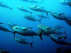 Giant tuna during a tonnara in Carloforte Insider Secrets from idyllic Sardinia   #travel #tips
