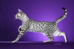 Egyptian Maus are a small- to medium-sized short-haired cat breed. Along with the Bahraini Dilmun Cat, they are one of the few naturally spotted breeds of domesticated cat. The spots of the Mau occur on only the tips of the hairs of their coat. The spotted Mau is an ancient breed from natural stock; its look has not changed significantly as is evidenced by artwork more than 3,000 years old.