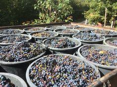Organic Winery Portugal  Wine harvest Quinta da Cumieira Bed & Breakfast