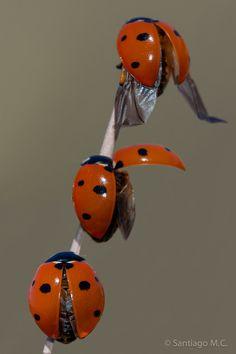 3 ladybugs on twig