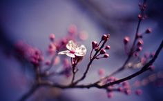 Download Wallpaper 1680x1050 Branch, Macro, Cherries, Nature, Flower 1680x1050 HD Background