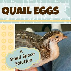 Quail are a great fit for urban Farms and they love to eat bugs. Quail Eggs: A small space solution for urban homesteaders. Raising Quail, Raising Chickens, Raising Ducks, Backyard Farming, Chickens Backyard, Quail Coop, Quail Eggs, Mini Farm, Hobby Farms