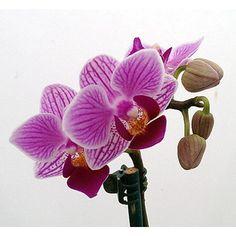 Hirts: Orchid -'Sogo Vivien' Miniature Phalaenopsis Moth Orchid Plant - 2