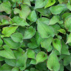 HOUTTUYNIA cordata : Couvre-sol rhizomateux à feuillage décoratif, au parfum d'orange. Massif, potée, bord de l'eau. Fleurs simples, blanches à cœur jaune. Feuillage cordiforme, vert bronze, légèrement marginé de pourpre.