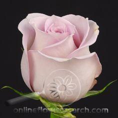 Silverstone Rose