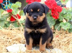Some Helpful Ideas For Training Your Dog. Loving your dog does not mean you are willing to let him go hog wild on your possessions. That said, your dog doesn't feel the same way. Rottweiler Puppies For Sale, Rottweiler Love, Chihuahua Dogs, Pet Dogs, Dogs And Puppies, Doggies, Cute Dog Pictures, Dog Photos, Rottweiler Training