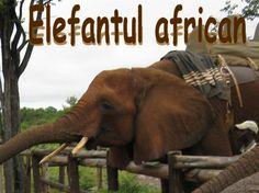 The African elephant is the largest animal walking the Earth. Their herds wander through 37 countries in Africa. Supranumit şi elefantul de savană, Loxodonta africana – elefantul african face parte din ordinul Proboscidae, familia Elephantidae. Elefanţii africani pot fi văzuţi mai ales în parcurile naţionale sau rezervaţiile din sudul Africii. Elefanţii sunt ierbivori, hrănindu-se cu toate tipurile de vegetaţie: ierburi, frunze, fructe, coajă de copac Zimbabwe, Elephant, Travel, African Bush Elephant, Humor, Viajes, Elephants, Destinations, Traveling