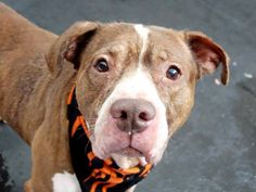 TO BE DESTROYED - 12/28/14 Manhattan Center -P  My name is JIGGA. My Animal ID # is A1023858. *** HURRICANE KATRINA RESCUE *** I am a male brown and white am pit bull ter mix. The shelter thinks I am about 6 YEARS old.  I came in the shelter as a OWNER SUR on 12/22/2014 from NY 10454, owner surrender reason stated was ALLERGIES.