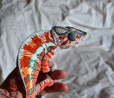 SHAZAAM! A very unique Ambilobe - Chameleon Forums