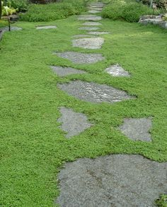 Corsican Mint ~ Wonderful, mat forming groundcover that features tight green, aromatic foliage. Tiny lavender flowers in summer. Plant as a lawn substitution or between stones so that the gentle scent of mint is released when walked on. Excellent for front entryways and back patios. Will take moist areas as well as normal landscape scenarios and will reseed easily in the garden.