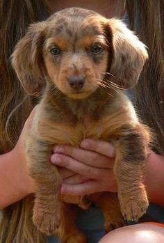 AKC Long haired chocolate & tan dapple Miniature Dachshund male puppy