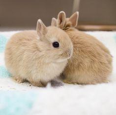 "1,621 Likes, 22 Comments - ラビットインパクト🇯🇵 (@rabbitimpact_) on Instagram: ""ちんまり。  #bunny #rabbit  #animal  #pets #bunnystagram #instapets #rabbitstagram #instarabbit  #動物…"""