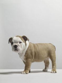 Bulldog Puppy Becomes Adorably Confused After Seeing Raindrops for First Time Top 10 Dog Breeds, Medium Sized Dogs, Lap Dogs, Bulldog Puppies, Funny Pictures, Funny Pics, French Bulldog, Houston, Cute Animals