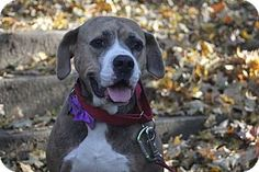 Roswell, GA - Boxer/Hound (Unknown Type) Mix. Meet Starla, a dog for adoption. http://www.adoptapet.com/pet/17035629-roswell-georgia-boxer-mix