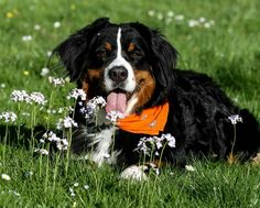 Lovely Berner                                                       …