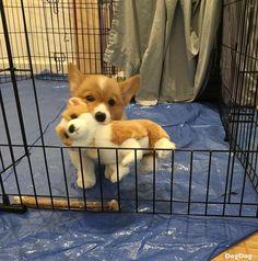 Everything we all like about the Pembroke Welsh Corgi Puppy Cute Corgi Puppy, Corgi Dog, Cute Dogs And Puppies, Baby Dogs, Corgi Funny, Funny Corgi Pictures, Funny Puppies, Funny Dogs, Cute Little Animals