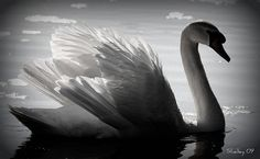 Swan, light, feathers, water.  B photography.