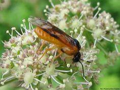 obnażacza różówkę - owad dorosły Plants