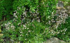 3 X Saxifraga umbrosa Porzellanblümchen