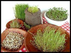 Como cultivar brotos comestíveis em casa. Explicação passo a passo - greenMe.com.br
