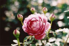 Rose, David Austen Rose Garden