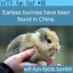 (SOURCE) - Rare Earless Bunnies Found In Chinese Village  MORE OF WTF-FUN-FACTS are coming HERE  funny and weird facts ONLY