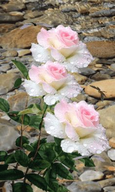Beautiful Rose Flowers, Beautiful Flowers Wallpapers, Exotic Flowers, Amazing Flowers, Pretty Flowers, Roses Gif, Flowers Gif, Flowers Nature, Beautiful Love Pictures