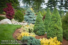 1203835 Dwarf Alberta Spruces, spreading conifers w/ Blue Spruce, Japanese Maple bkgnd