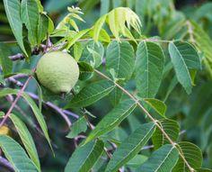 20 Edible Companion Plants for Black Walnuts