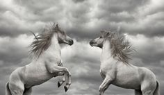 Stallions of Camargue. by Nomad Photo
