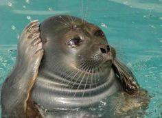 Картинки по запросу алло тюлень