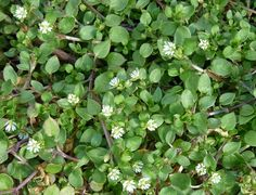 Early spring - Chickweed - Find it in your yard! Raw (destemmed) in salads. Cooked it is similar to spinach though the texture is different. It can be added to soups or stews, but in the last five minutes to prevent overcooking. The stems, leaves, flowers and seeds are all edible.