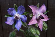 Borage or Borago officinalis, also known as starflower.  Annual.  Supposedly cucumbery...