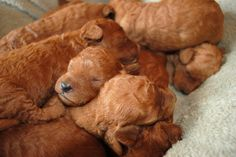 Sweet baby red mini Australian labradoodles