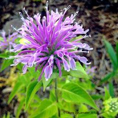 Bergamont Monarda- another beautiful xeric perennial Flowers Nature, Purple Flowers, Garden Of Lights, Perennial Bulbs, Cottage Garden Plants, Purple Garden, Hardy Plants, Seed Pods, Gardening