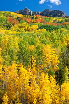 fall colors along Kebler Pass Road, Gunnison National Forest near Crested Butte, Colorado | Andy Cook, RMRP