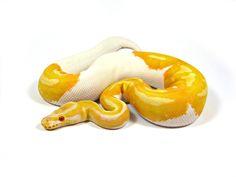Albino Pied