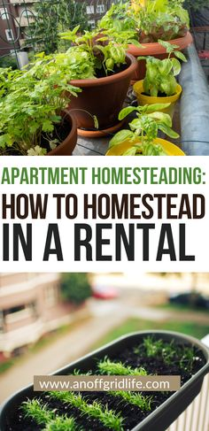 Apartment homesteading or homesteading in a rental is a great way to learn to homestead, save money, secure your food supply and become more self-reliant. #homesteading #selfsufficient #urbanhomesteading Homestead Survival, Wilderness Survival, Survival Prepping, Survival Skills, Survival Gear, Off Grid, Homestead Apartment, Raising Rabbits For Meat, All Natural Cleaners
