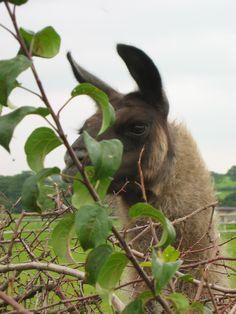 Esprit - null Llama Alpaca, Alpacas, Hamilton, Ph, Cute Animals, Spirit, Pretty Animals, Cutest Animals, Cute Funny Animals