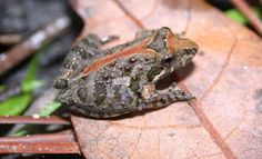 Guess what cricket frogs sound like? Yes.... You guessed. Thank you http://srelherp.uga.edu