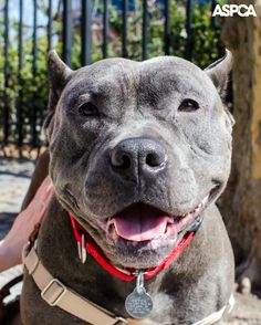 When it comes to energetic goofballs, one-year old Rolo is the poster pup. This guy loves to get outdoors for quality playtime with his favorite people—he'd make the perfect companion for your daily jogs through the park! Like most New Yorkers, Rolo has a mind of his own when on a walk, but he'll keep you laughing with his playful antics. Learn more about Rolo here! http://www.aspca.org/blog/aspca-pet-of-the-week-rolo