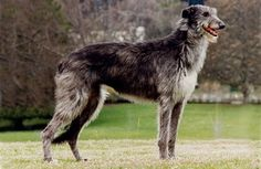15 Types of Large Dog Breeds with Pictures - General - Katzen witzig Large Dog Breeds, Large Dogs, Mans Best Friend, Best Friends, Scottish Deerhound, Choosing A Dog, Kangaroo, Pets, Dog Stuff
