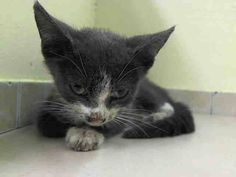 NYACC **URGENT  **BABY ALERT** Manhattan Center  My name is JD. My Animal ID # is A1006108. I am a male gray and white domestic sh mix. The shelter thinks I am about 7 WEEKS old.  https://m.facebook.com/photo.php?fbid=830274840317683&id=155925874419253&set=a.576546742357162.1073741827.155925874419253&source=43